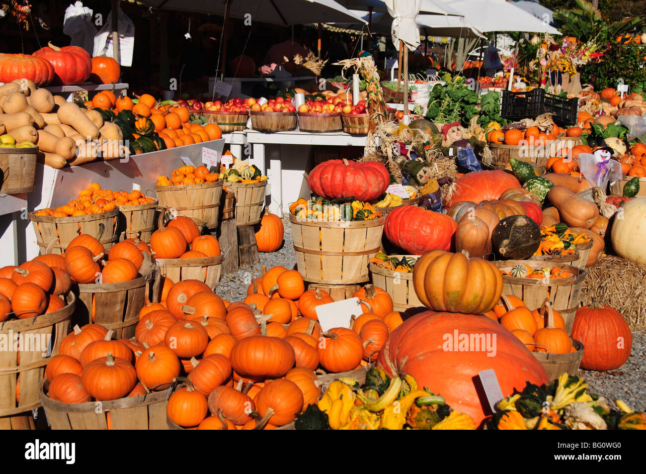 Pumpkins, The Hamptons, Long Island, New York State, United States of America, North America - Stock Image
