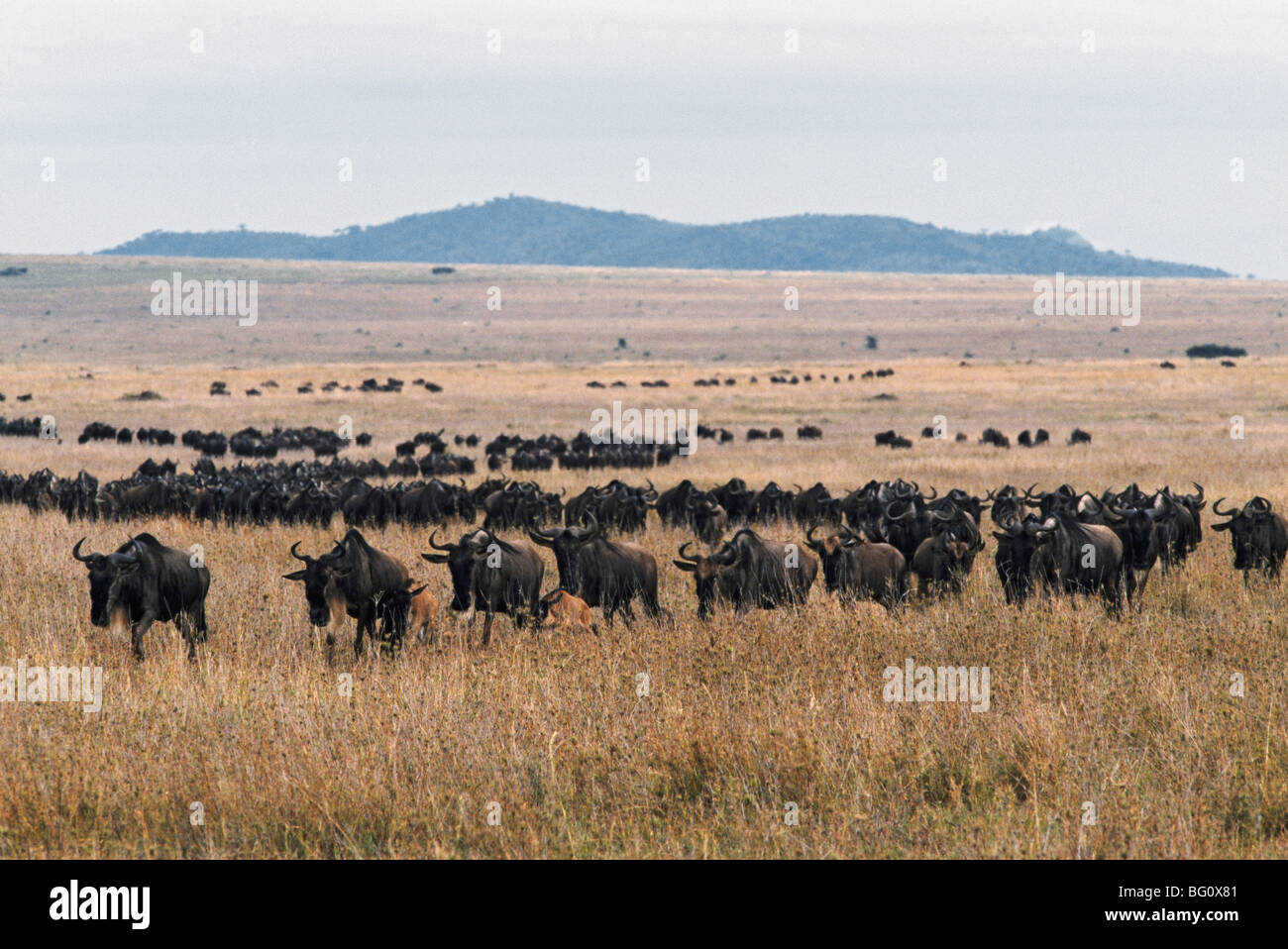 Herd of blue wildebeest, Tanzania, Africa Stock Photo