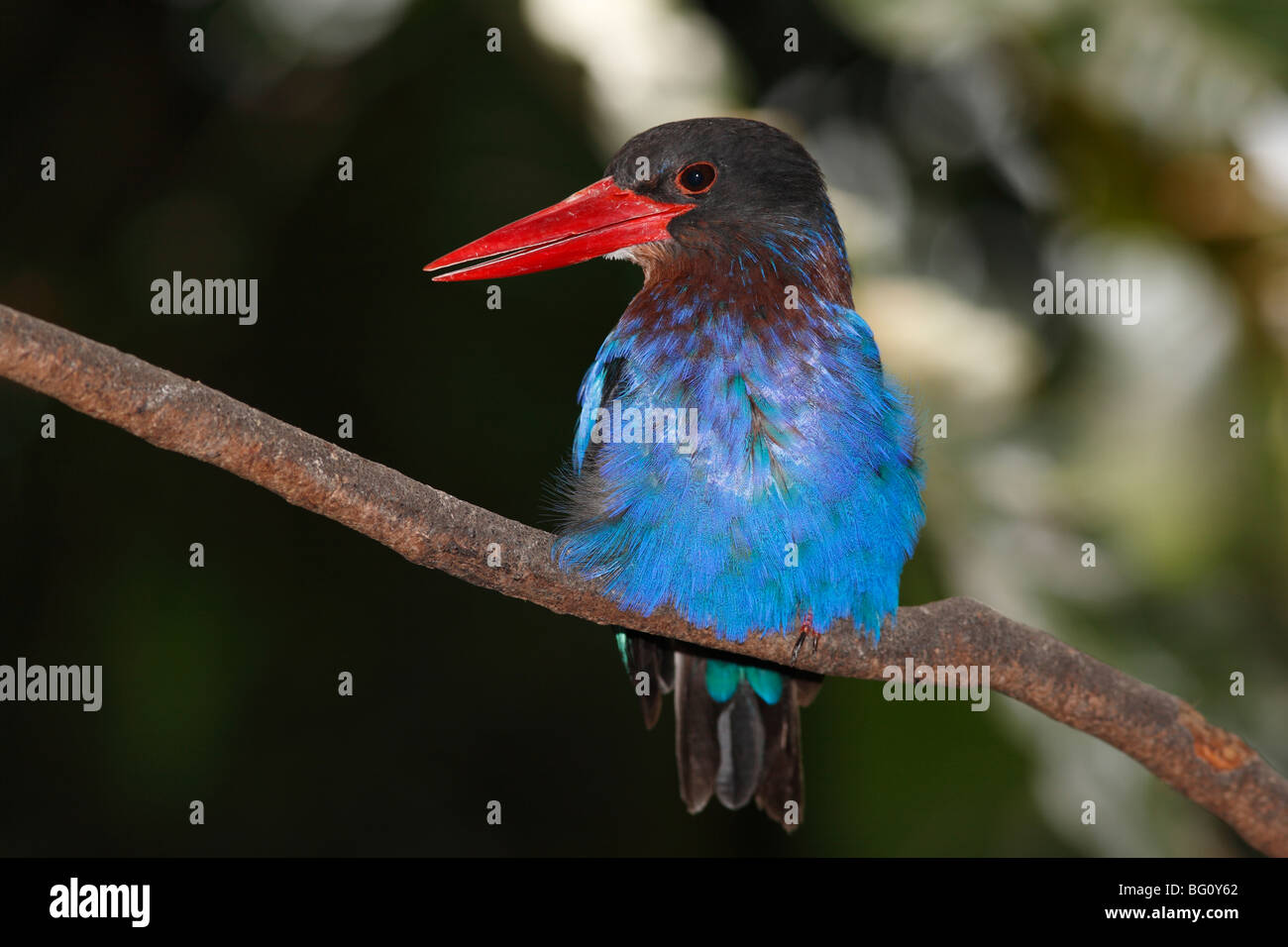 Javan Kingfisher, Halcyon cyanoventris, is found in the lowland areas of Bali and Java Indonesia. It is endemic - Stock Image