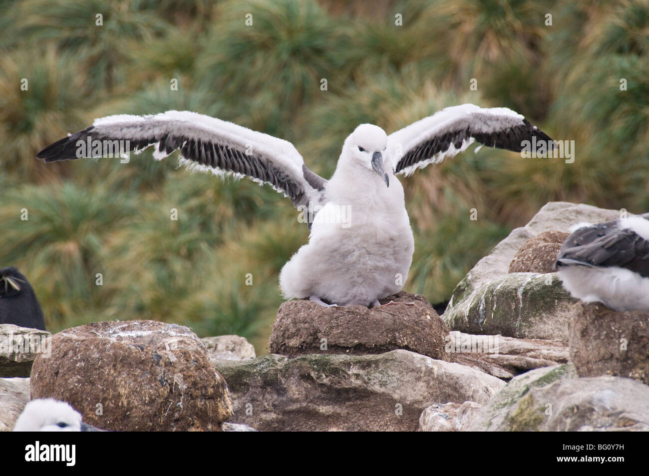 Black browed albatross chick, West Point Island, Falkland Islands, South America - Stock Image