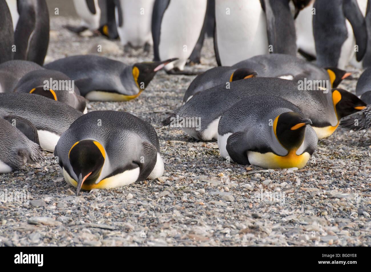 King penguins, St. Andrews Bay, South Georgia, South Atlantic - Stock Image