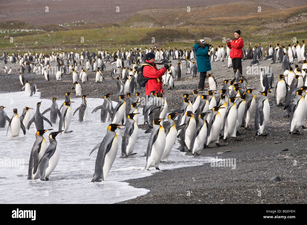 King penguins, St. Andrews Bay, South Georgia, South Atlantic Stock Photo