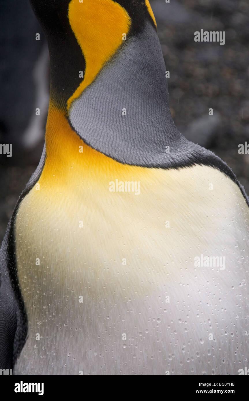 King penguin, Salisbury Plain, South Georgia, South Atlantic - Stock Image