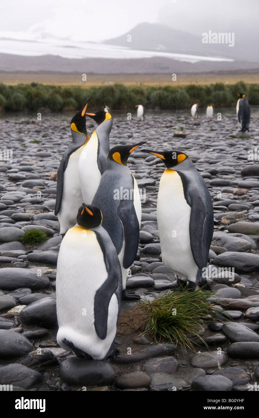 King penguins, Salisbury Plain, South Georgia, South Atlantic - Stock Image