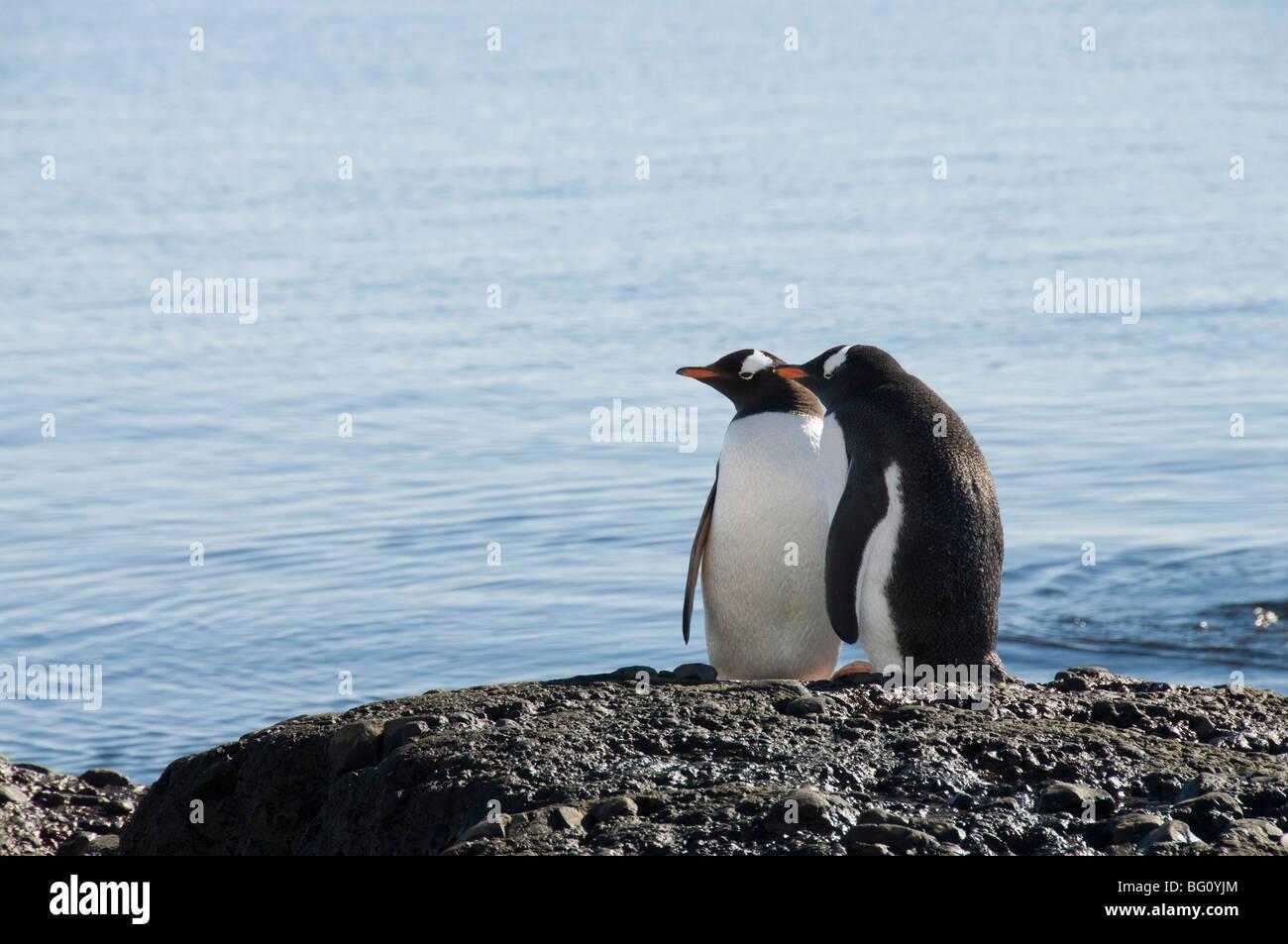 Gentoo penguins at Brown Bluff, Antarctic Peninsula, Antarctica, Polar Regions - Stock Image