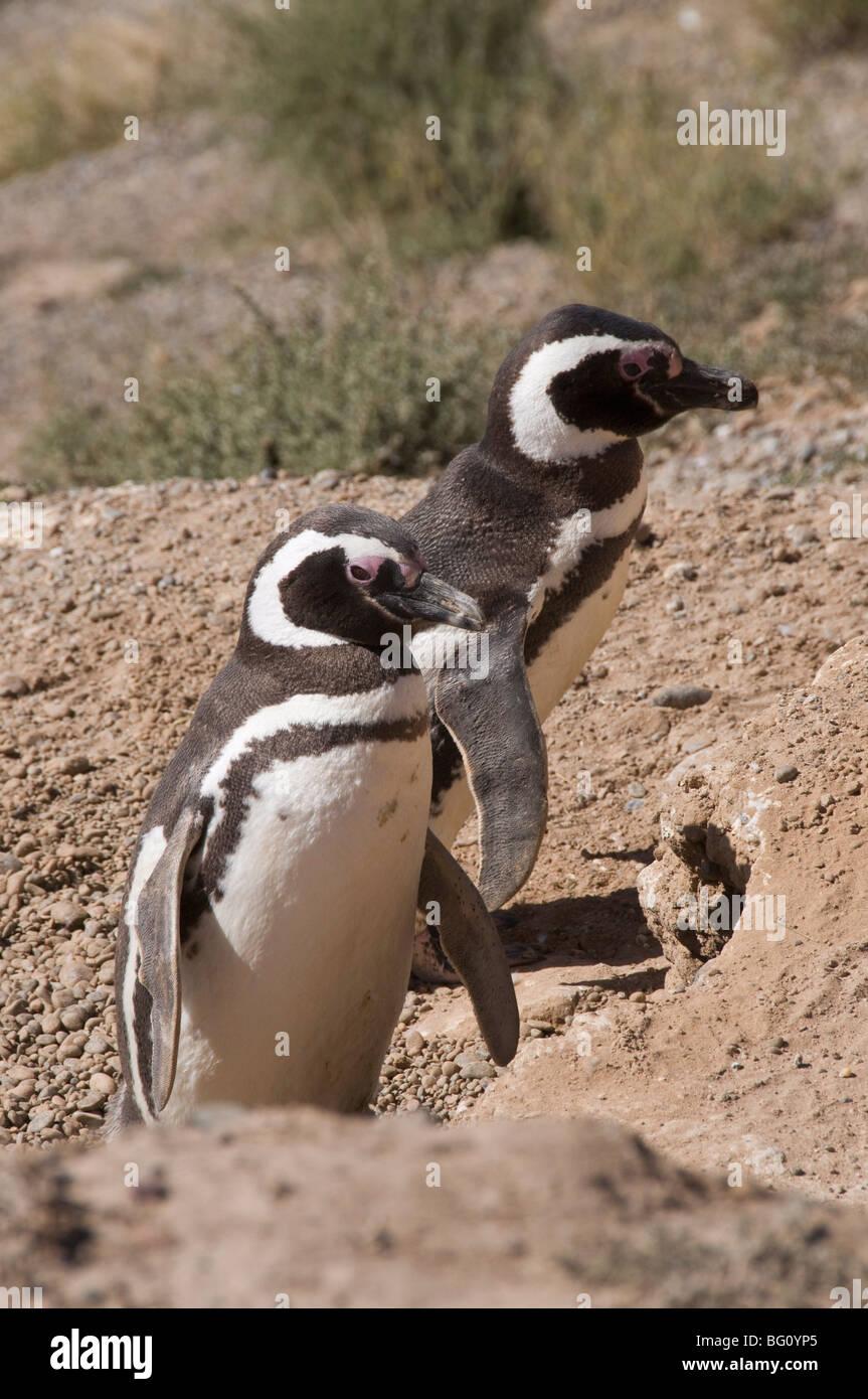 Magellanic penguins, Punta Cantor, Valdes Peninsula, Patagonia, Argentina, South America - Stock Image