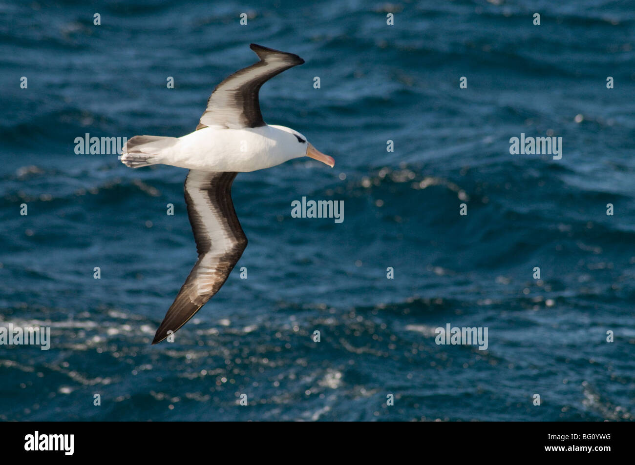 Albatross near Falkland Islands, South Atlantic, South America - Stock Image