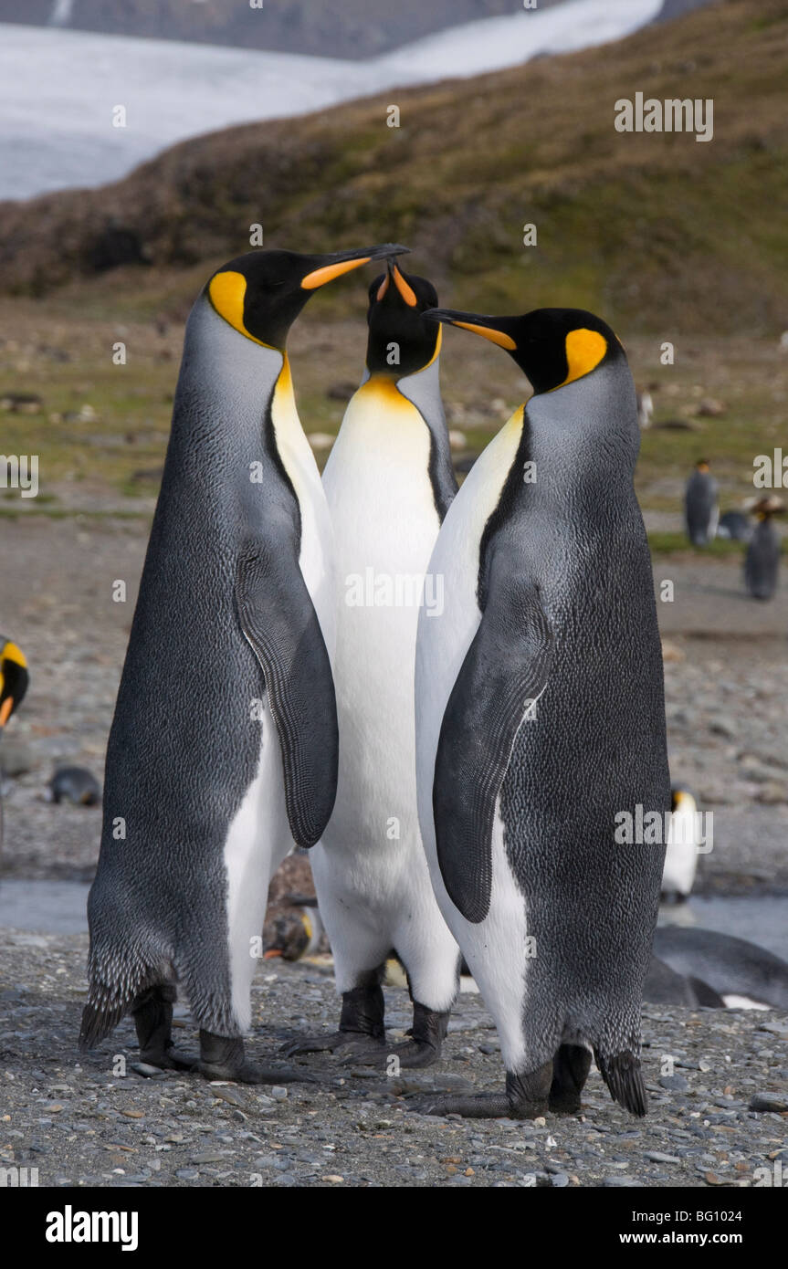 King penguins, St. Andrews Bay, South Georgia, South Atlantic - Stock Image