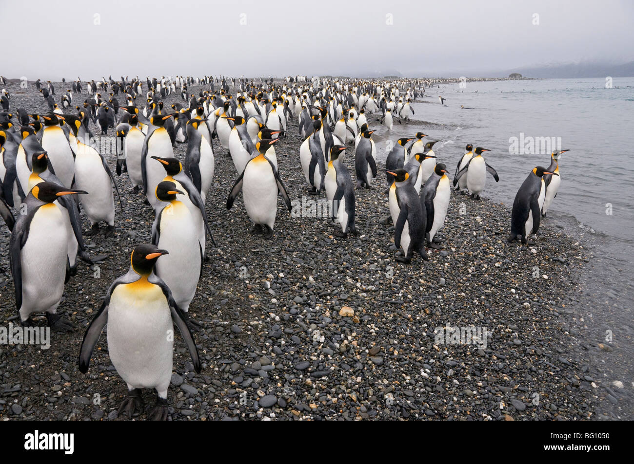 King penguins, Salisbury Plain, South Georgia, South Atlantic - Stock Image
