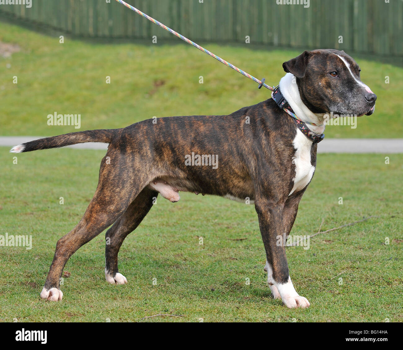american pitbull terrier standing full body - Stock Image