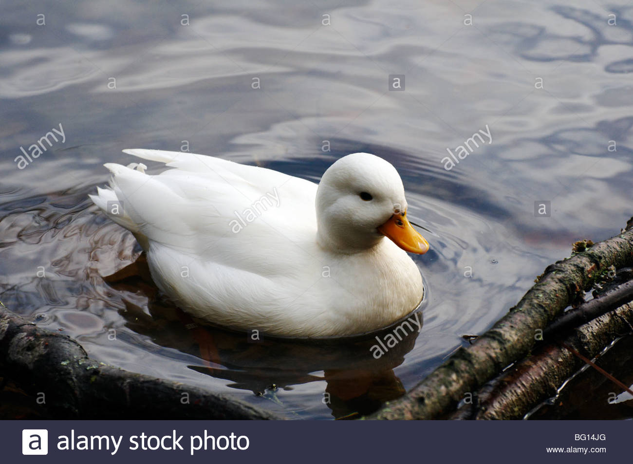 A white small domesticated call duck with yellow bill swimming in the water - Stock Image