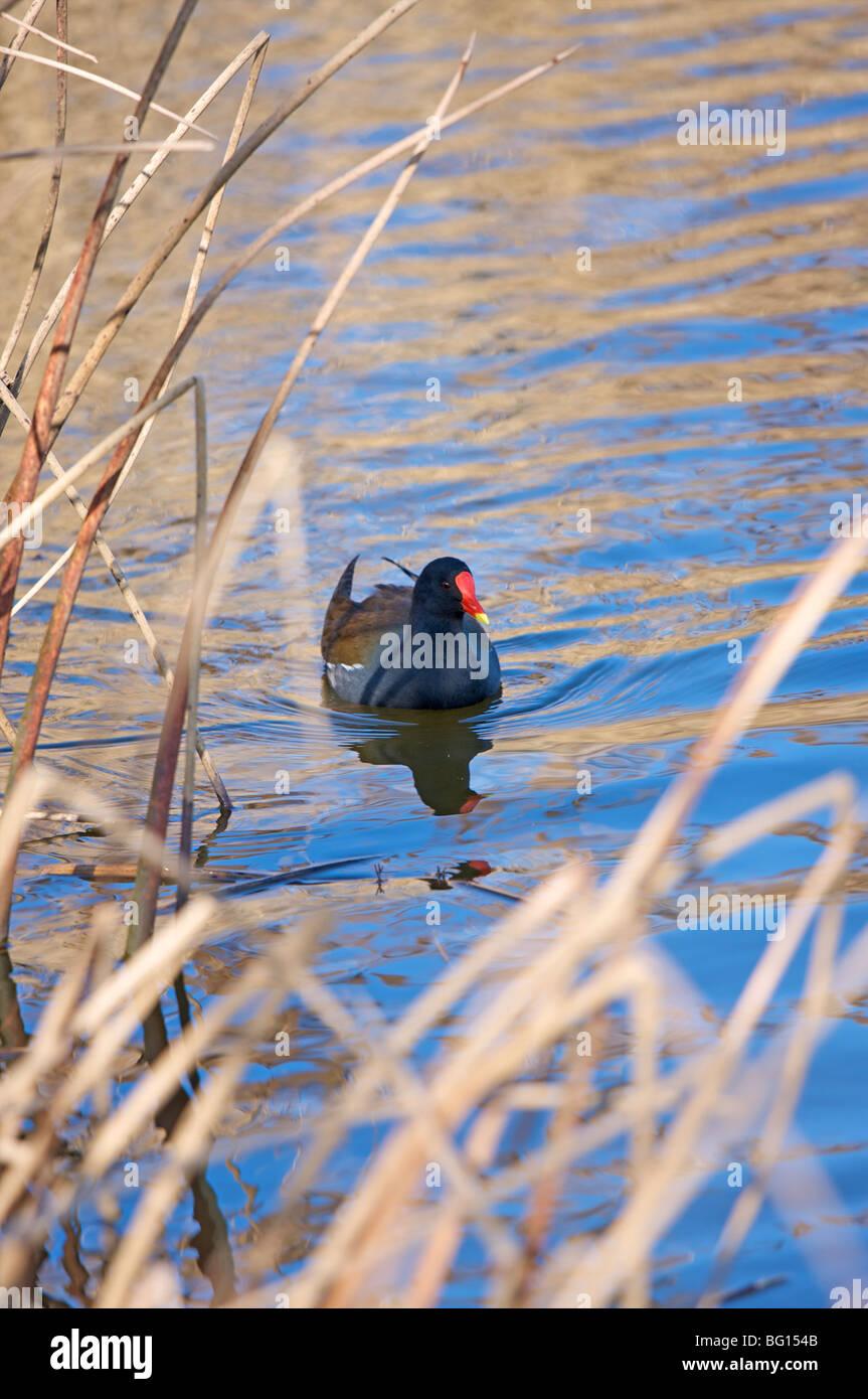 Moorhen on a pond, Hampstead Heath, London, England, United Kingdom, Europe - Stock Image