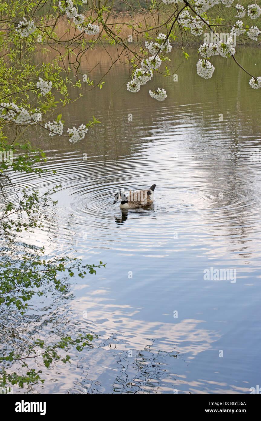 Canada goose on a pond, Hampstead Heath, London, England, United Kingdom, Europe - Stock Image