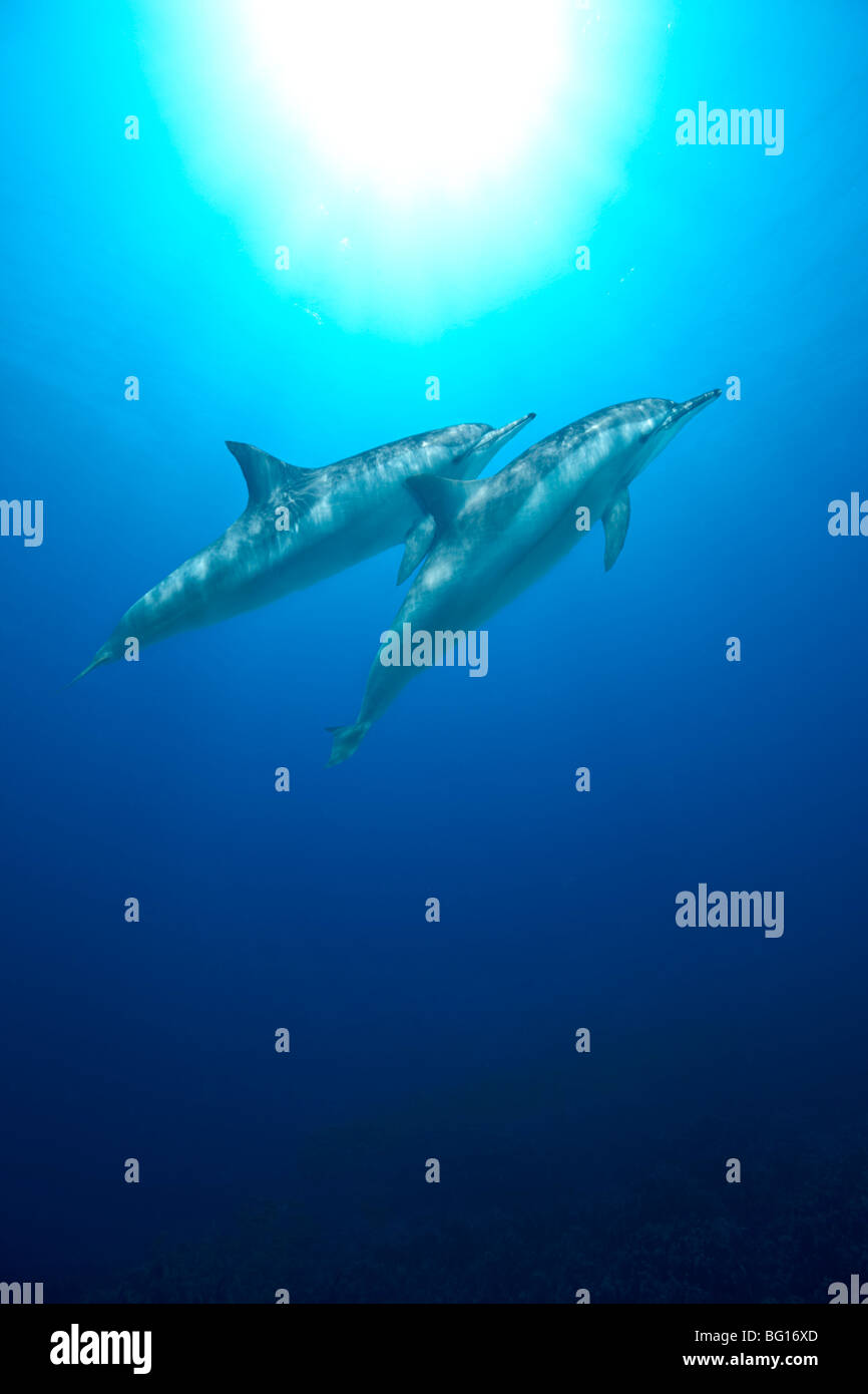 Spinner Dolphins - Stock Image
