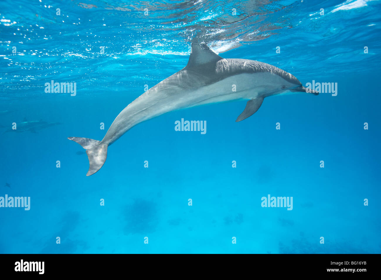Spinner Dolphin - Stock Image