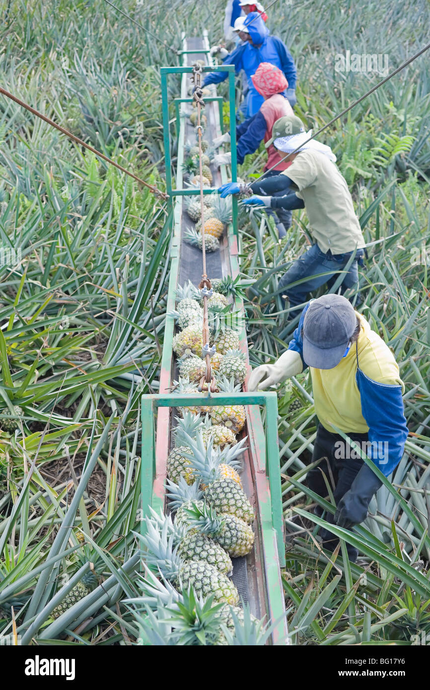 Workers putting pineapples on a conveyor belt, Costa Rica, Central America - Stock Image