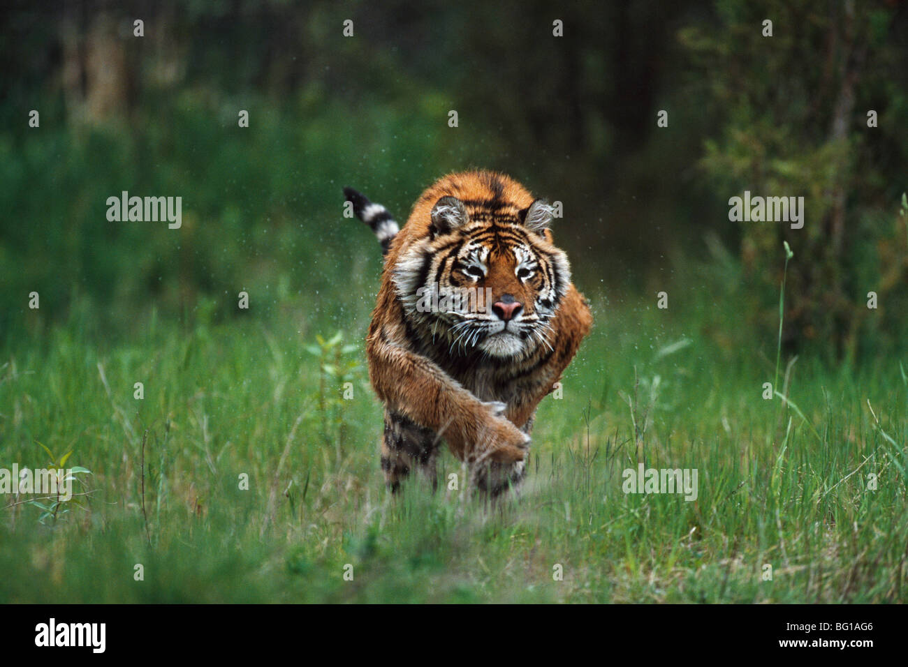 Wet Siberian tiger charging - Stock Image