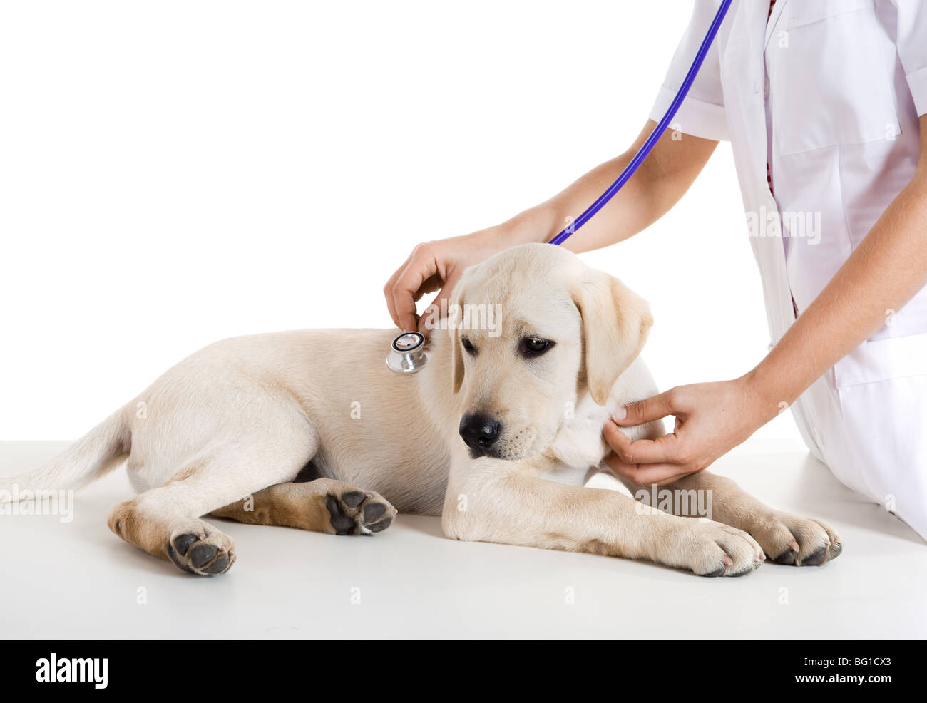 Young female veterinary taking care of a beautiful labrador dog - Stock Image