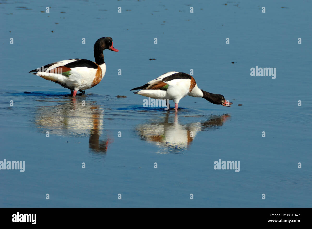 Pair or Couple of Shelducks (Tadorna tadorna) Reflected in Shallow Water or Lake, One Threatening Intruder, Camargue, - Stock Image