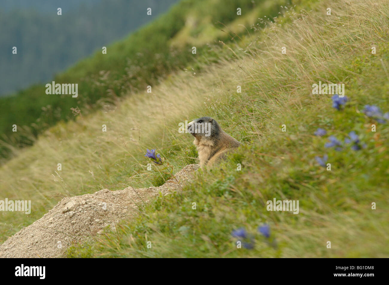The Slovak sub species of the Alpine Marmot Marmota marmota tatrica in siroka dolina valley in the low tatra mountains - Stock Image