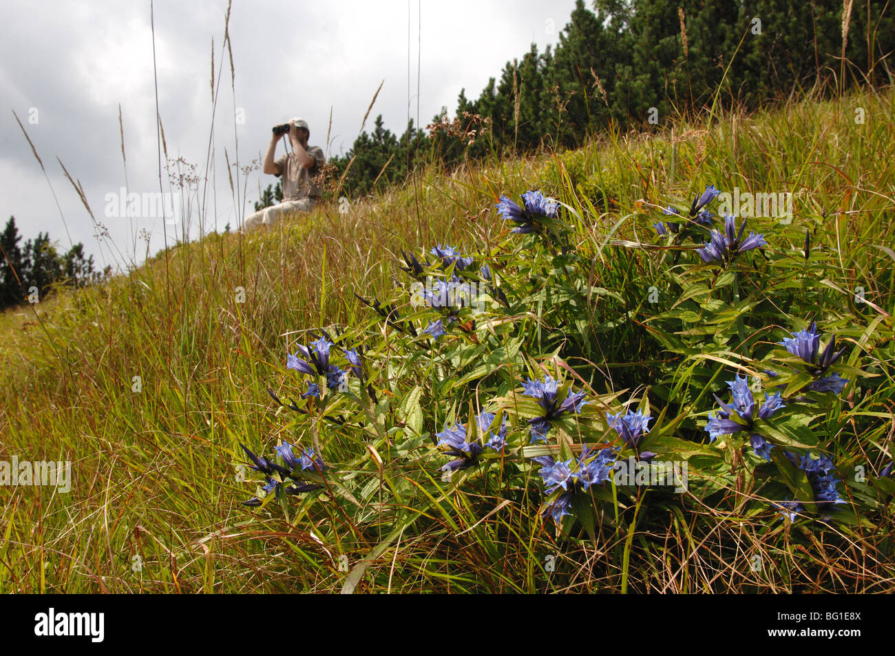 gentian flowers in the low tatra mountains slovakia - Stock Image