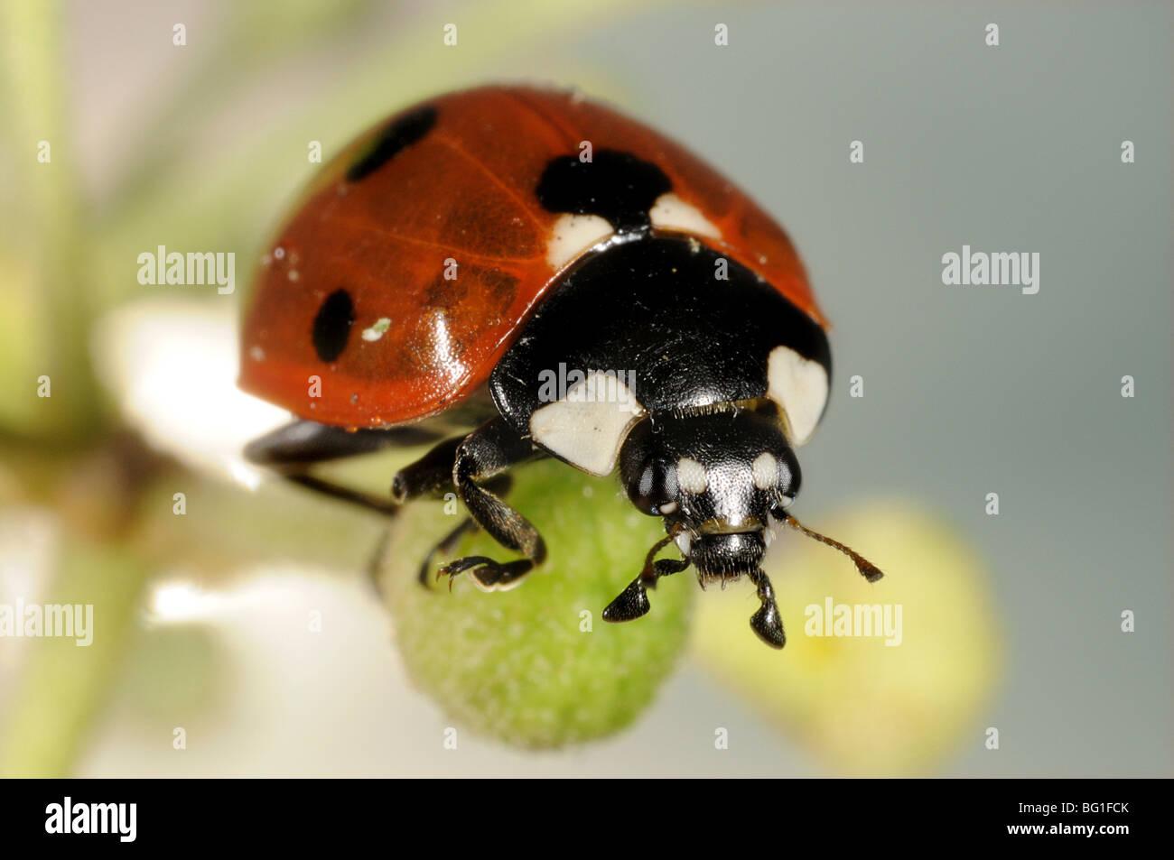 Seven-spot Ladybird (Coccinella septempunctata) on ivy flower Stock Photo