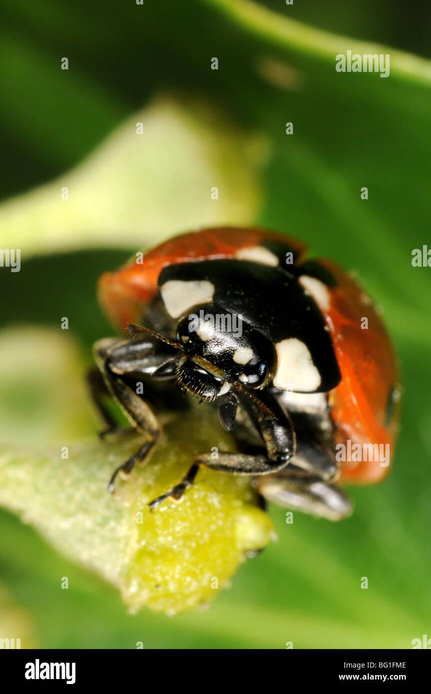Seven-spot Ladybird (Coccinella septempunctata) on ivy flower - Stock Image