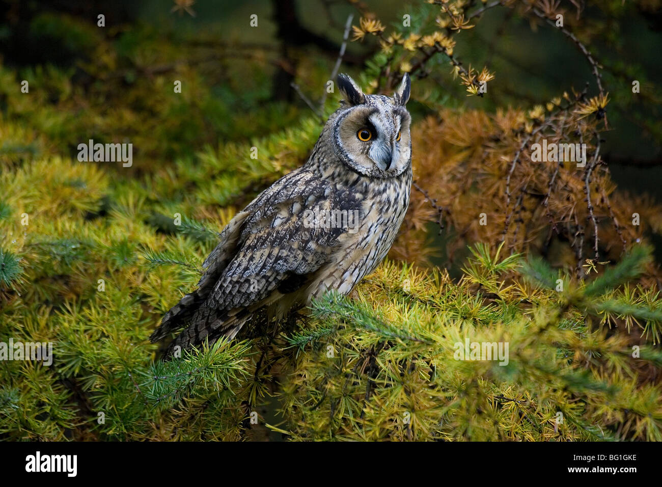 Long-Eared Owl (Asio Otus) . North Yorkshire. - Stock Image