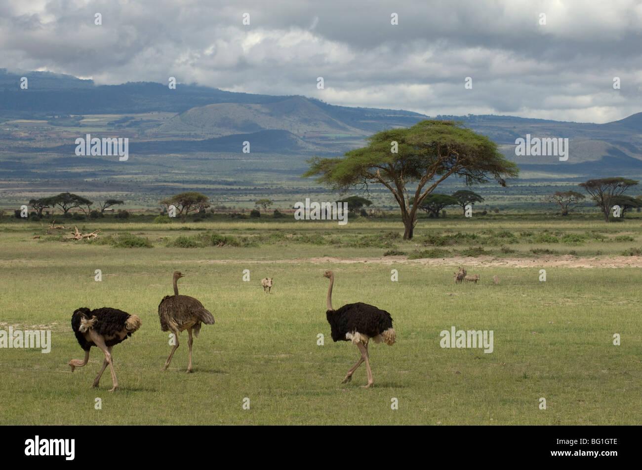 Ostrich, Amboseli National Park, Kenya, East Africa, Africa - Stock Image
