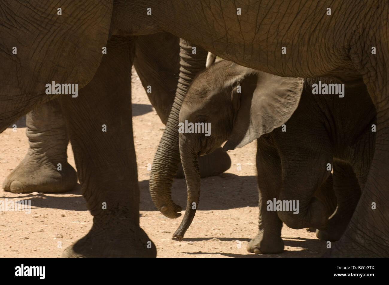 Elephant calf, Amboseli National Park, Kenya, East Africa, Africa - Stock Image