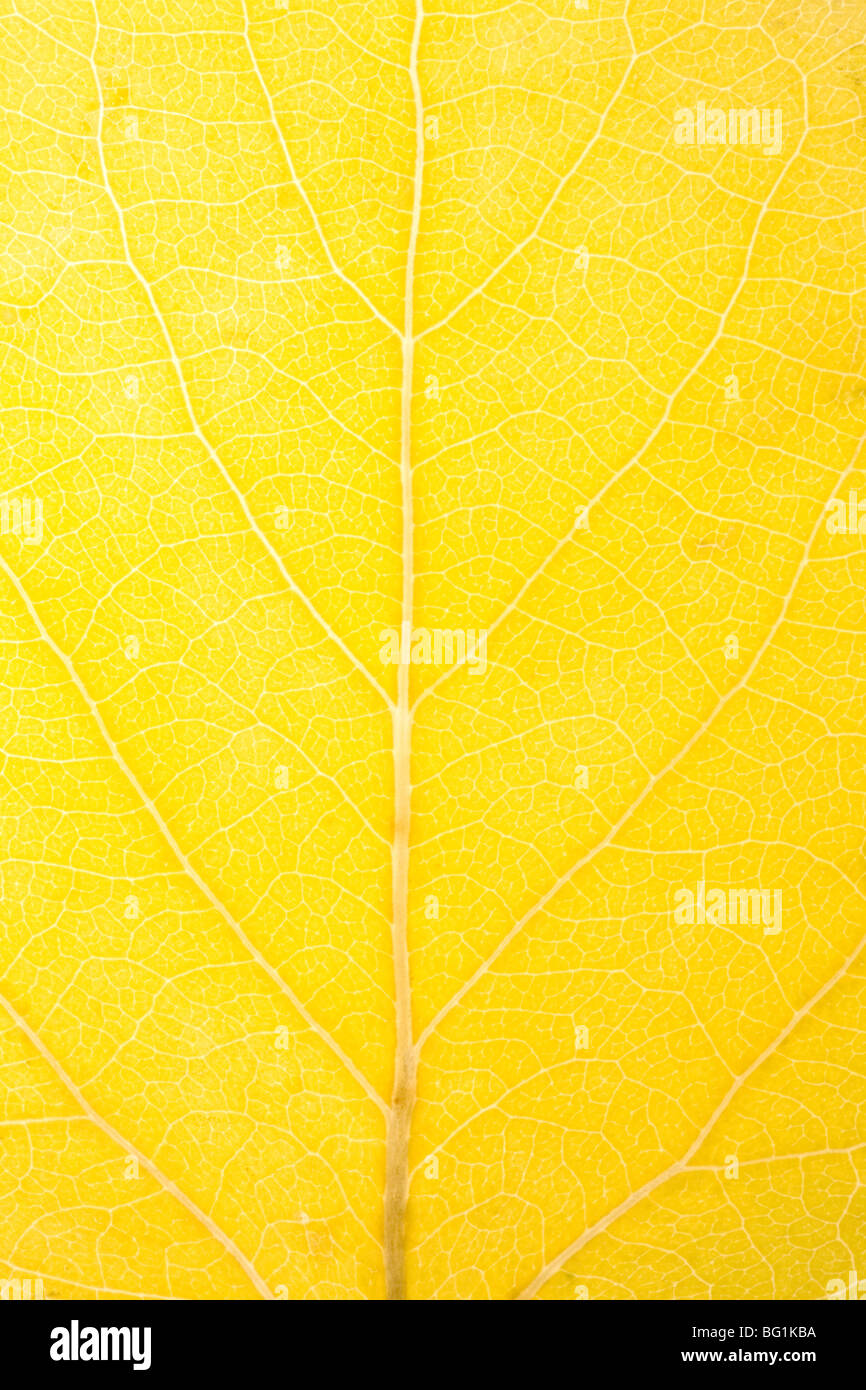 close up of aspen leaf Stock Photo