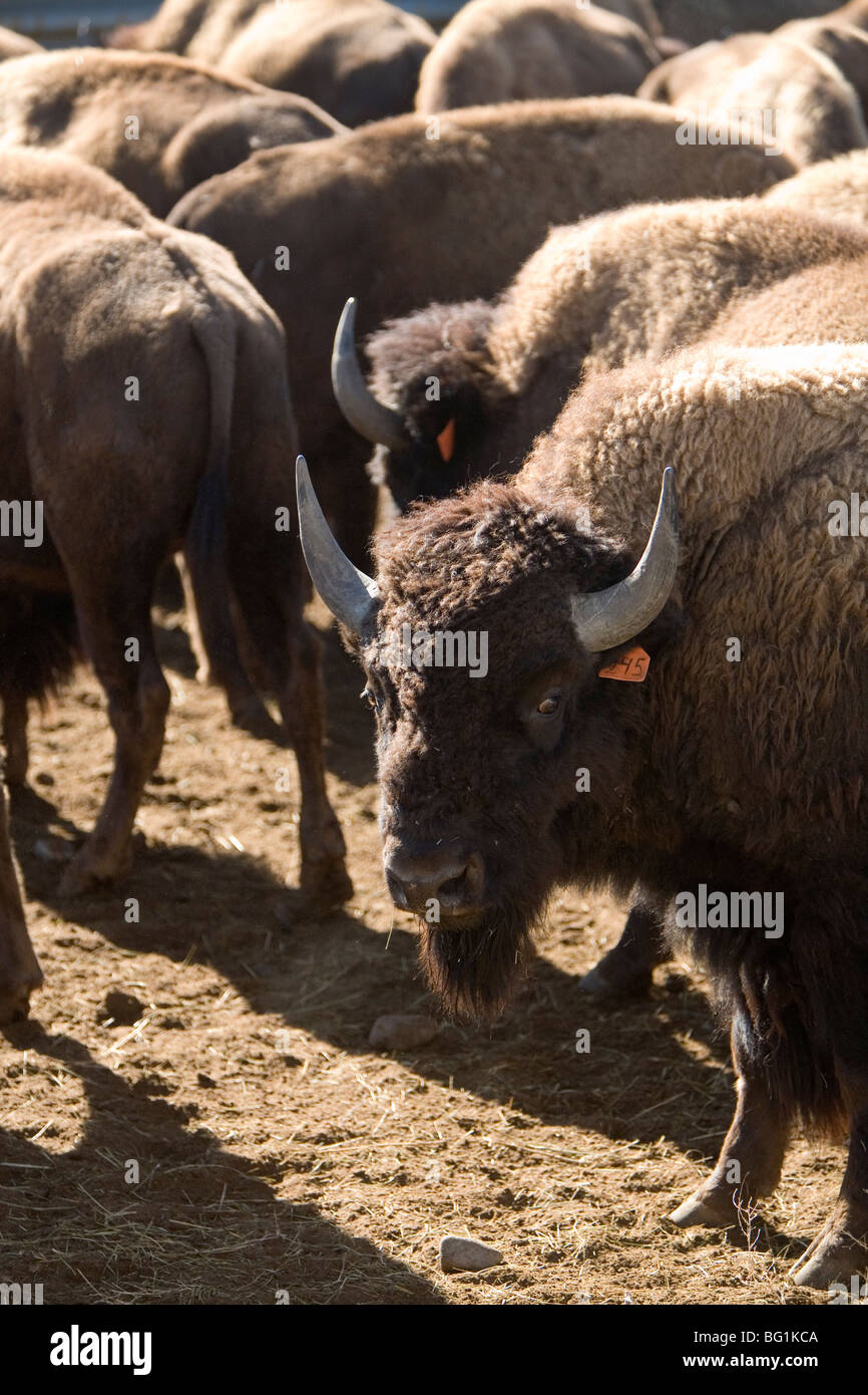 american bison bulls in holding area - Stock Image