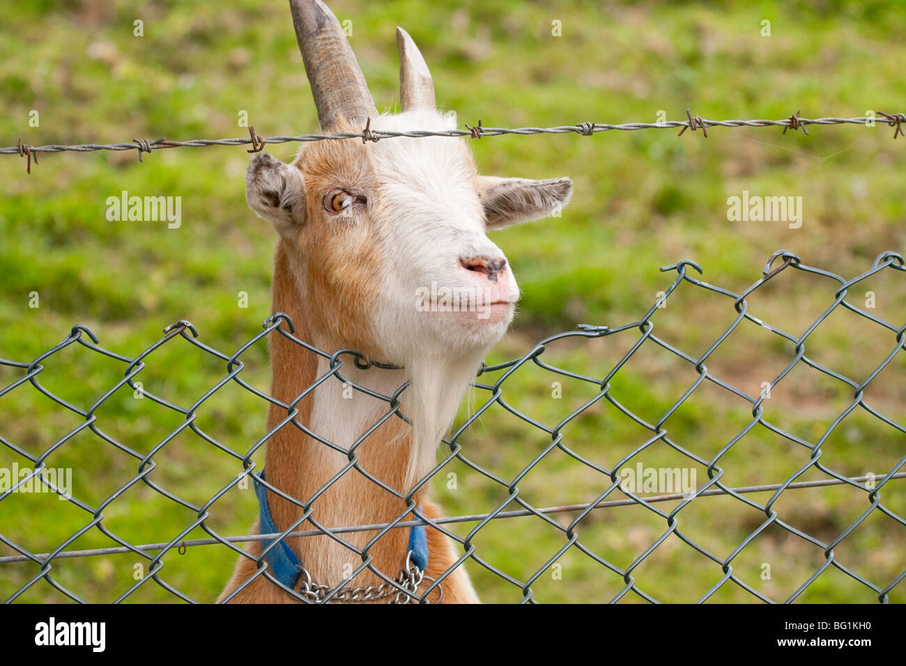 Goat behind barbed wire fence - Stock Image