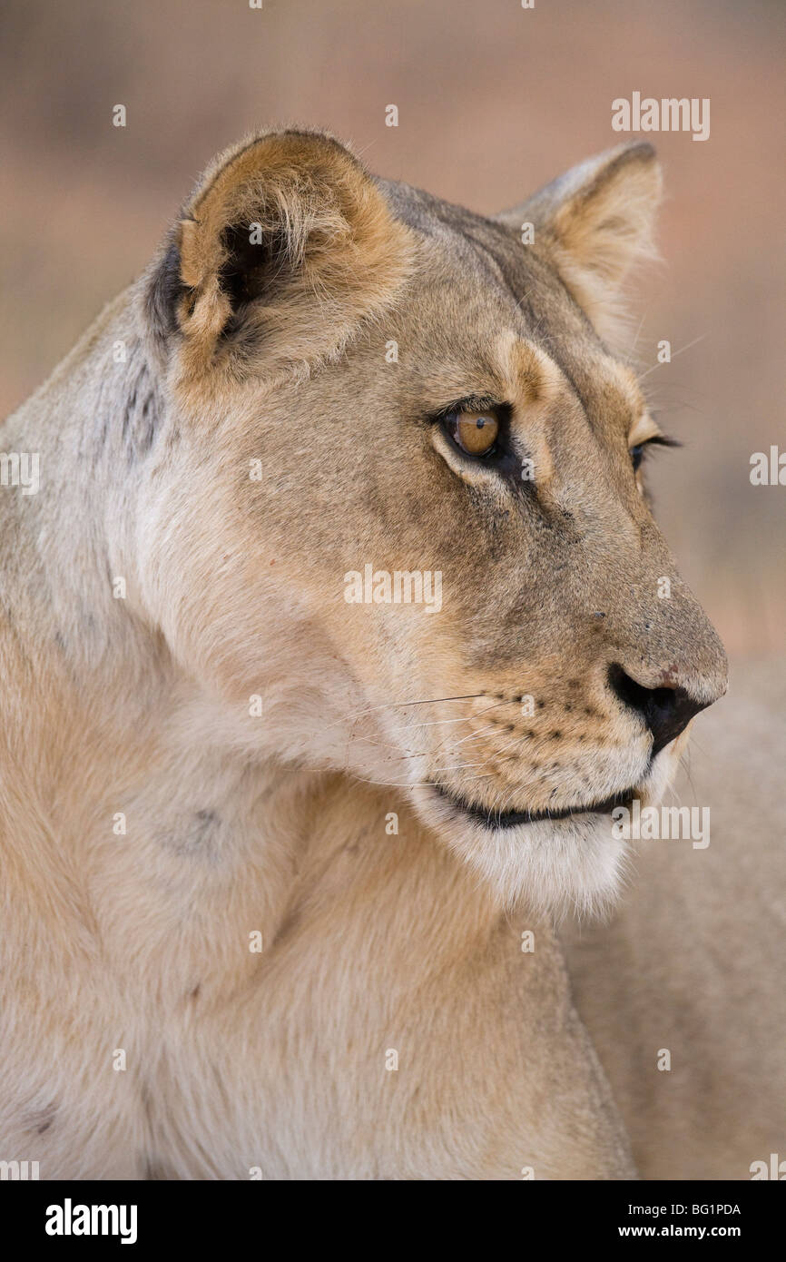 Lioness (Panthera leo), Kgalagadi Transfrontier Park, South Africa, Africa - Stock Image