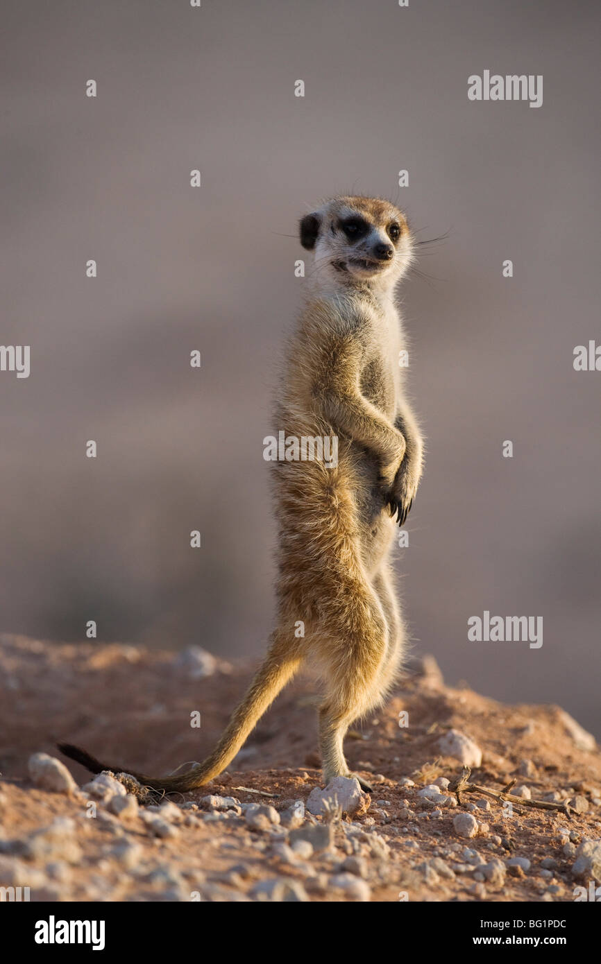 Meerkat sentinel (Suricatta suricata), Kgalagadi Transfrontier Park, Northern Cape, South Africa, Africa - Stock Image
