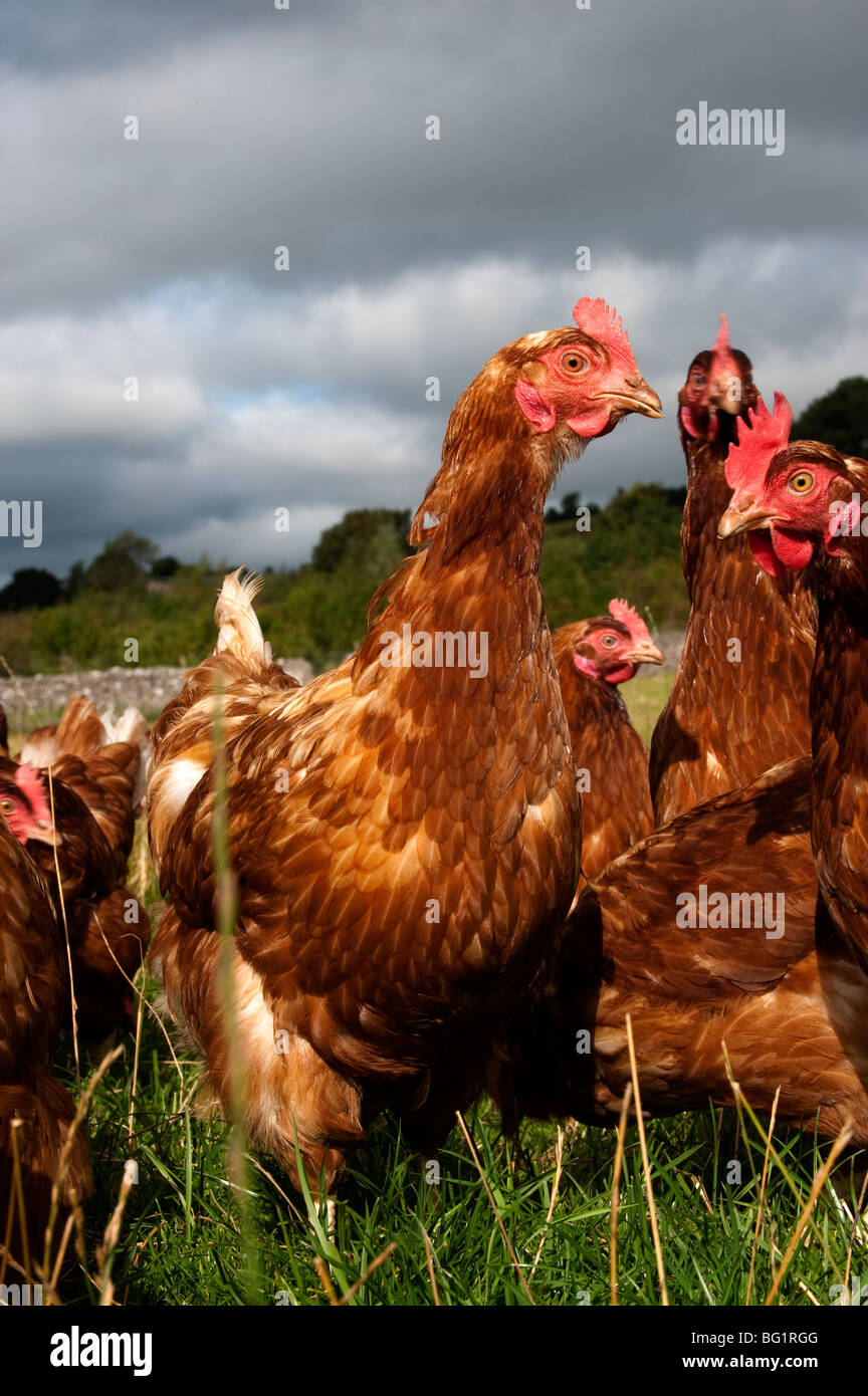 Free range hens wander through woodland - Stock Image