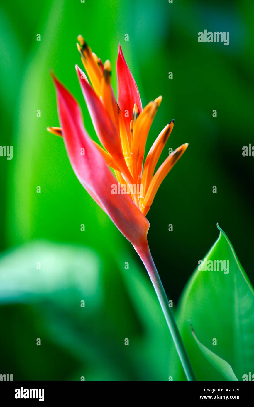Close up of heliconia flower, Costa Rica, Central America - Stock Image