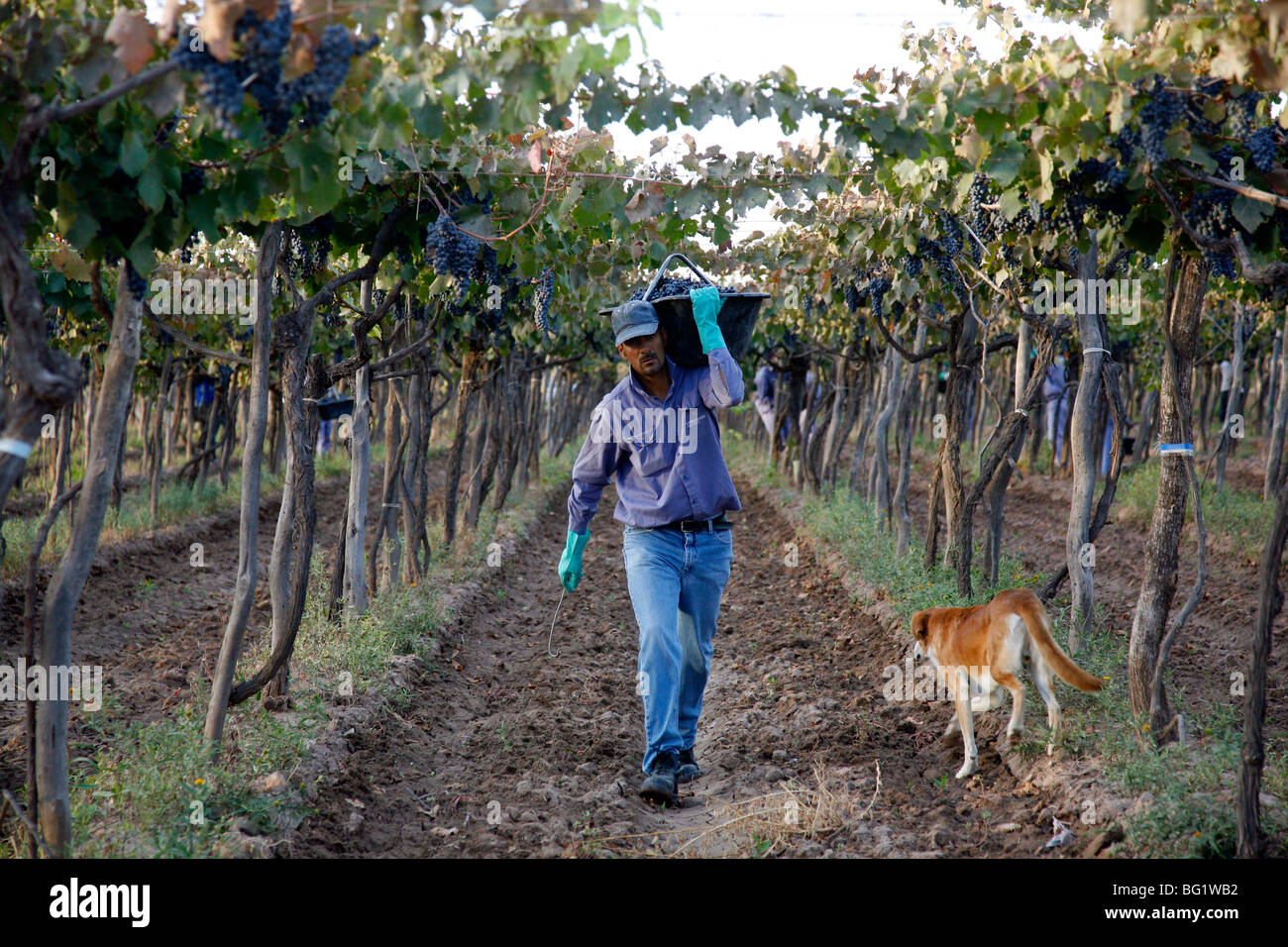 Man working at the vineyard during the harvest time, Mendoza, Argentina, South America - Stock Image