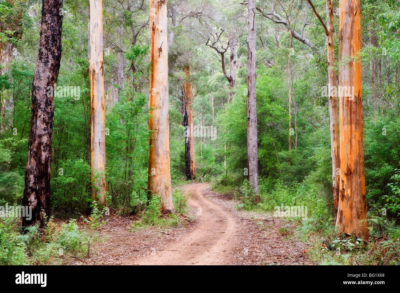 Karri Forest, Warren National Park, Western Australia, Australia, Pacific - Stock Image