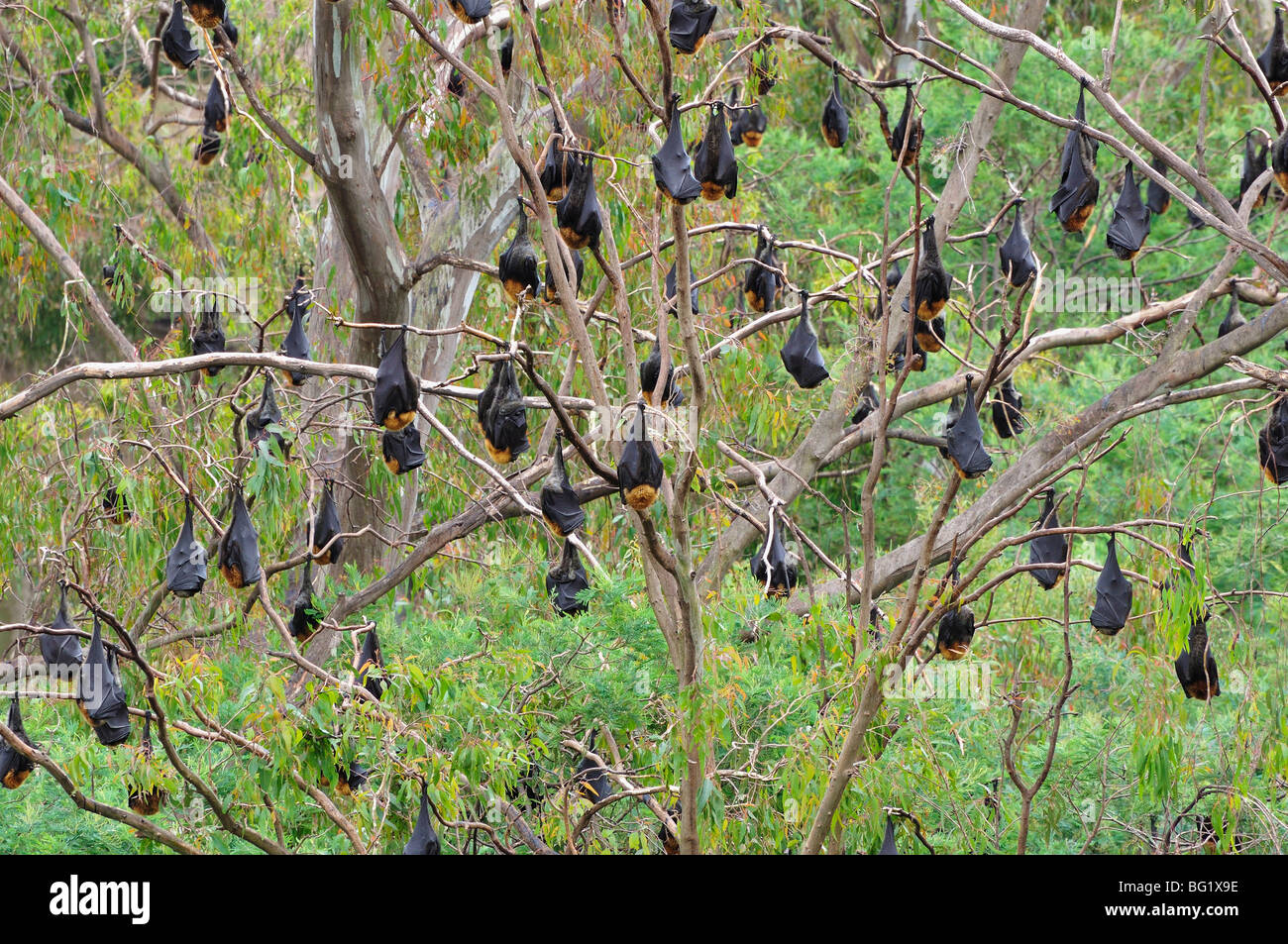 Flying foxes resting in tree, Yarra Bend Park, Melbourne, Victoria, Australia, Pacific - Stock Image