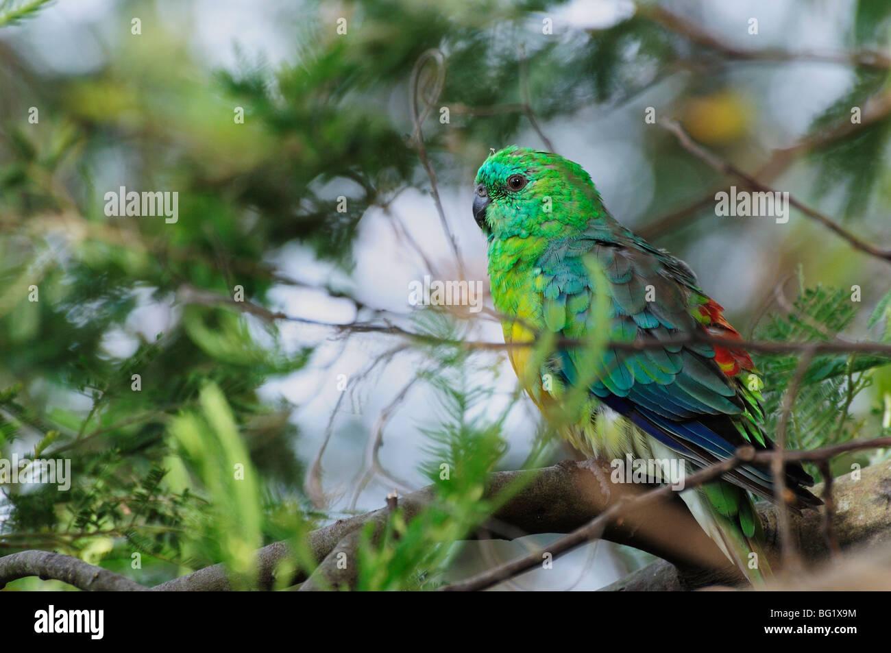Eastern Rosella, Yarra Bend Park, Melbourne, Victoria, Australia, Pacific - Stock Image