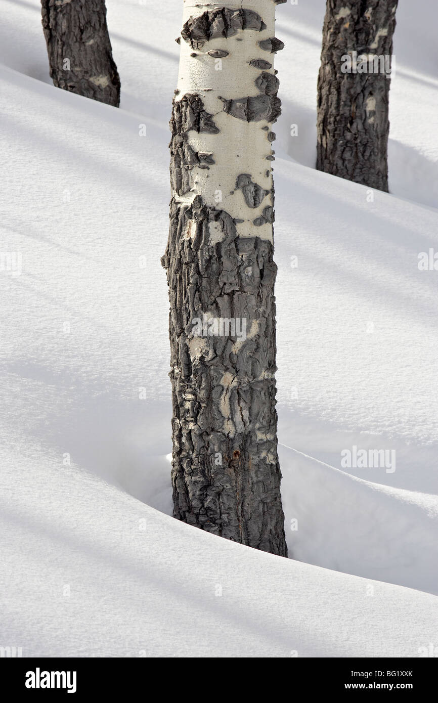 Birch tree trunks in snow, Yellowstone National Park, Wyoming, United States of America, North America - Stock Image