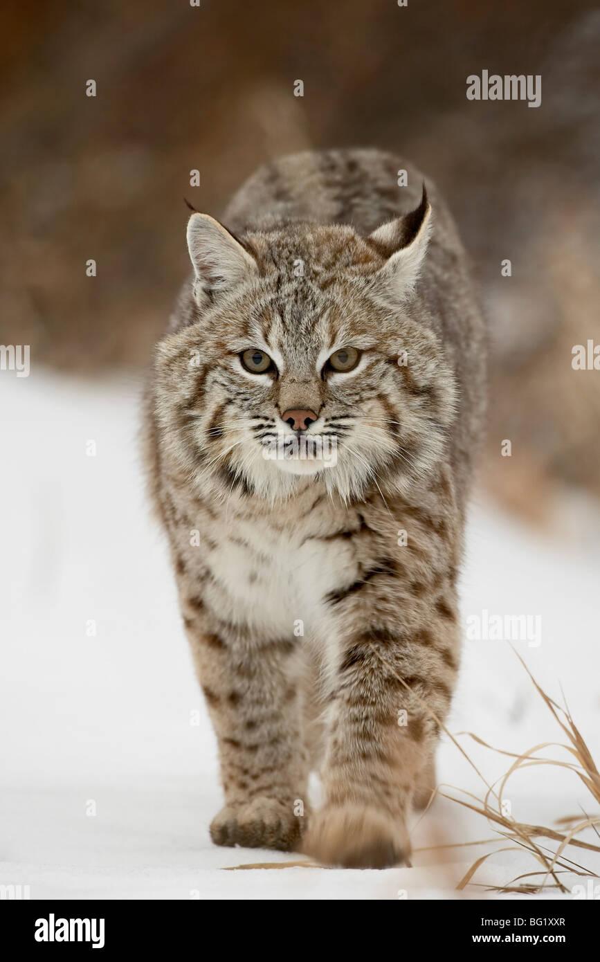 Bobcat (Lynx rufus) in snow, near Bozeman, Montana, United States of America, North America - Stock Image