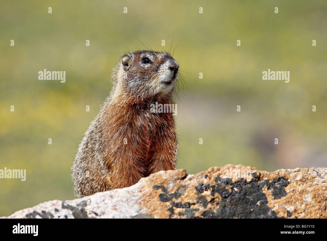 Yellowbelly marmot (Marmota flaviventris), Shoshone National Forest, Wyoming, United States of America, North America - Stock Image