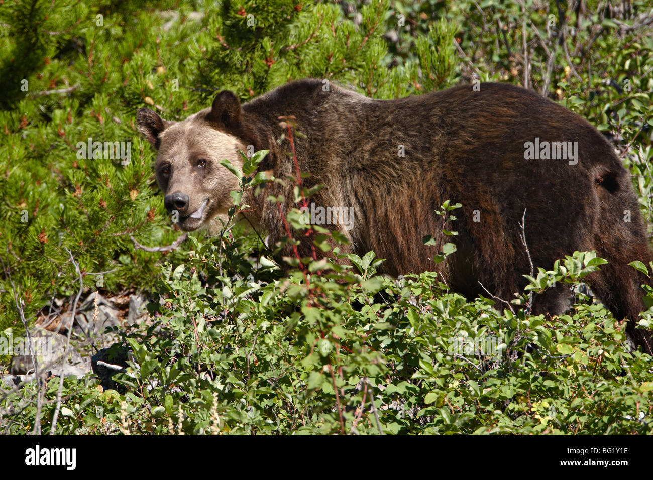 Grizzly bear (Ursus horribilis), Glacier National Park, Montana, United States of America, North America - Stock Image