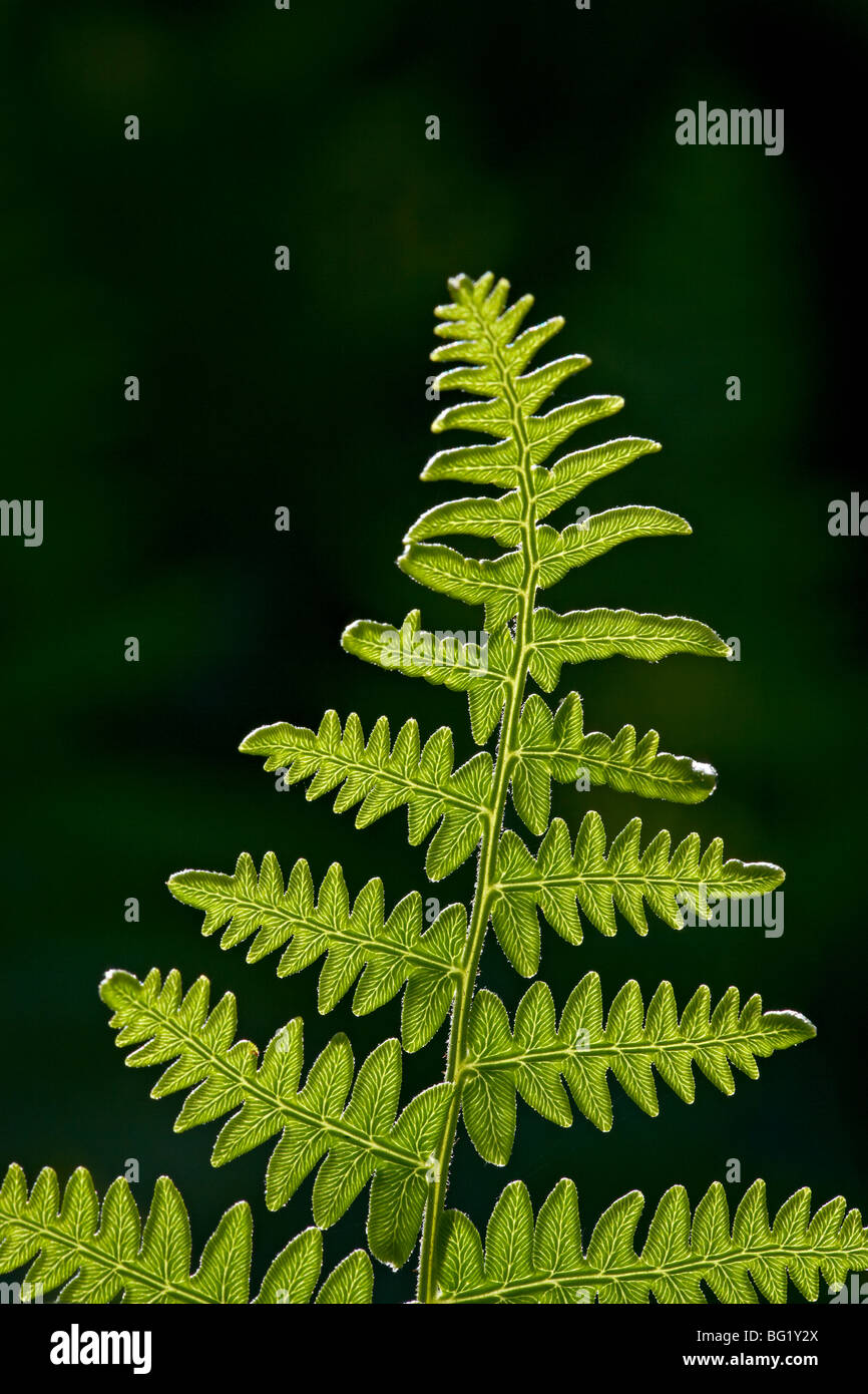 Backlit fern frond, Yellowstone National Park, Wyoming, United States of America, North America - Stock Image