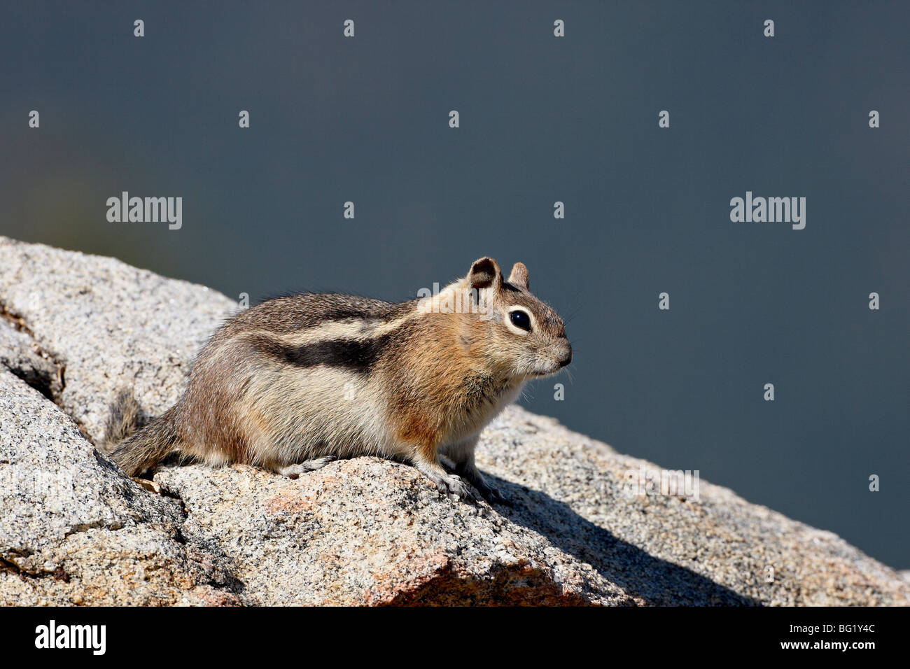 Golden-mantled squirrel (Citellus lateralis), Rocky Mountain National Park, Colorado, United States of America, - Stock Image