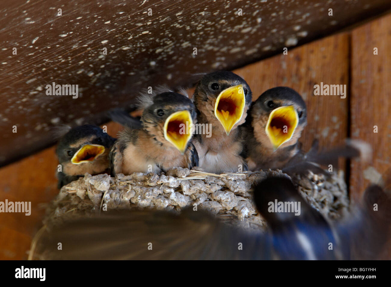 Four barn swallow (Hirundo rustica) chicks chirp as parent approaches nest with food, Custer State Park, South Dakota, - Stock Image
