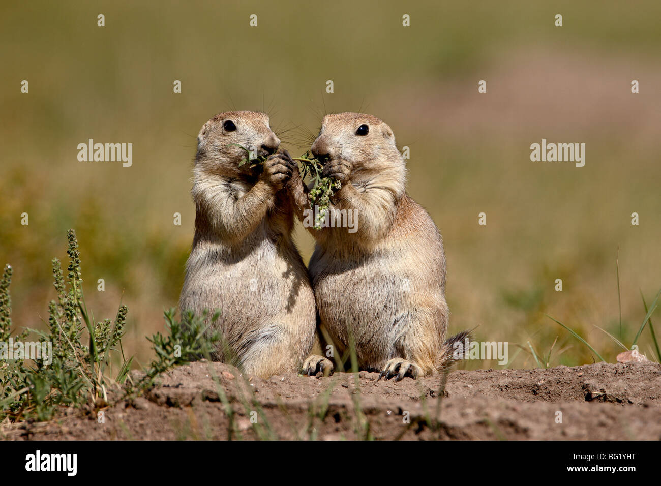 Two blacktail prairie dog (Cynomys ludovicianus) sharing something to eat, Wind Cave National Park, South Dakota, - Stock Image
