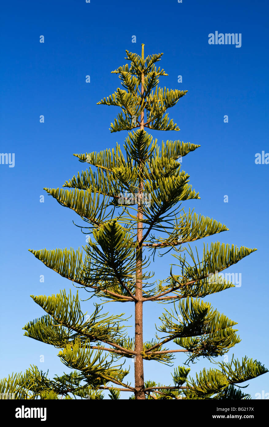 View of the top part of a pine tree with blue sky behind - Stock Image